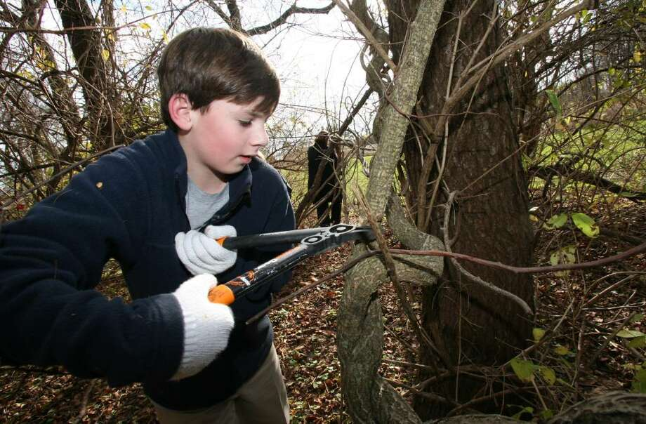 Stanwich School seventh grader Will Russell cuts into an Oriental Bittersweet vine during Friday afternoons community service program in conjunction with Greenwich Green and Clean on Tod's Point. Photo: David Ames / Greenwich Time