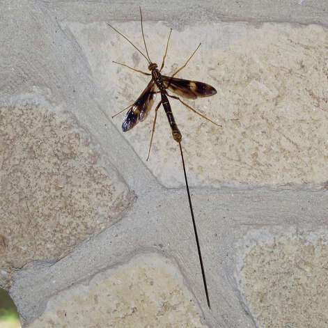 So far no reader has inquired about the unusual ichneumon wasp. This recent photo shows the first one ever seen by our science columnist. The Photograph by Forrest M. Mims III. Photo: Forrest M. Mims III
