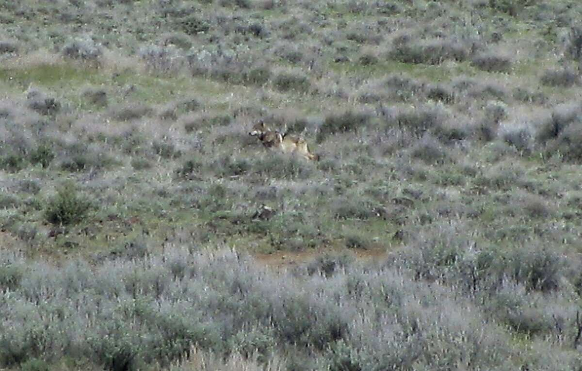 This May 8, 2012 photo provided by the California Department of Fish and Game shows OR-7, the Oregon wolf that has trekked across two states looking for a mate, on a sagebrush hillside in Modoc County, Calif. A California Department of Fish and Game biologist spotted the wolf and took this photo while out visiting ranchers in the area. The wolf's presence in California has prompted conservaiton groups to seek state endangered species proteciteoin for wolves. Tehama County supervisors recently told the state they oppose the move. (AP Photo/Richard Shinn/California Department of Fish and Game)