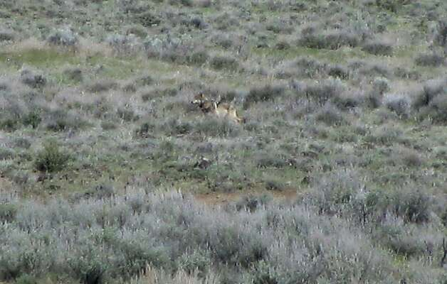 This May 8, 2012 photo provided by the California Department of Fish and Game shows OR-7, the Oregon wolf that has trekked across two states looking for a mate, on a sagebrush hillside in Modoc County, Calif. A California Department of Fish and Game biologist spotted the wolf and took this photo while out visiting ranchers in the area. The wolf's presence in California has prompted conservaiton groups to seek state endangered species proteciteoin for wolves. Tehama County supervisors recently told the state they oppose the move. (AP Photo/Richard Shinn/California Department of Fish and Game) Photo: Richard Shinn, Associated Press / SF