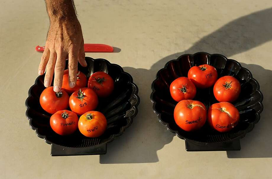 A tomato breeder shows varieties grown at a Yolo County facility of Monsanto Co., world's top producer of bioengineered seed. Photo: Noah Berger, Bloomberg