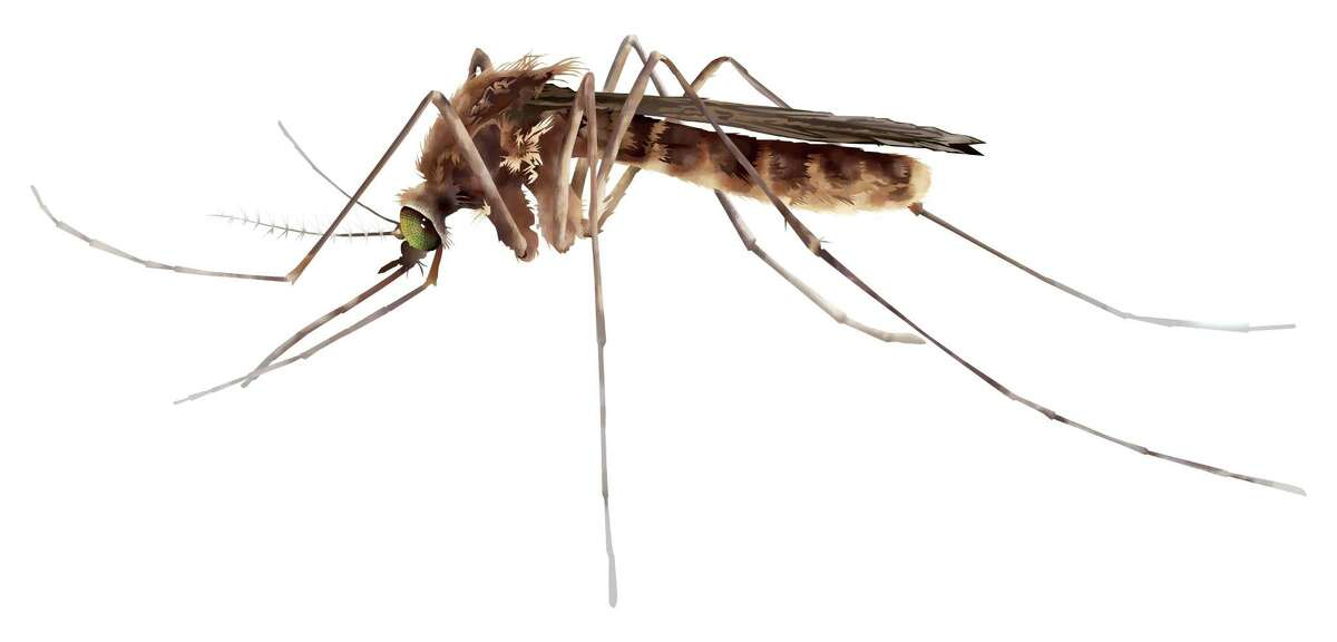 West Nile is carried by Culex mosquitoes, which tend to bite at night.