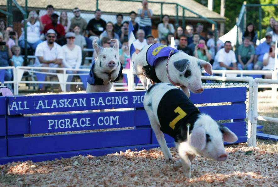 Alaskan Racing Pigs jump over a hurdle during a pig race at the Evergreen State Fair in Monroe on Fr