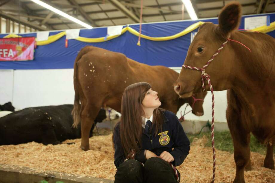 "Allie Roe, of Snohomish, watches her Red Angus cow ""Harvey."" Photo: Sofia Jaramillo / SEATTLEPI.COM"