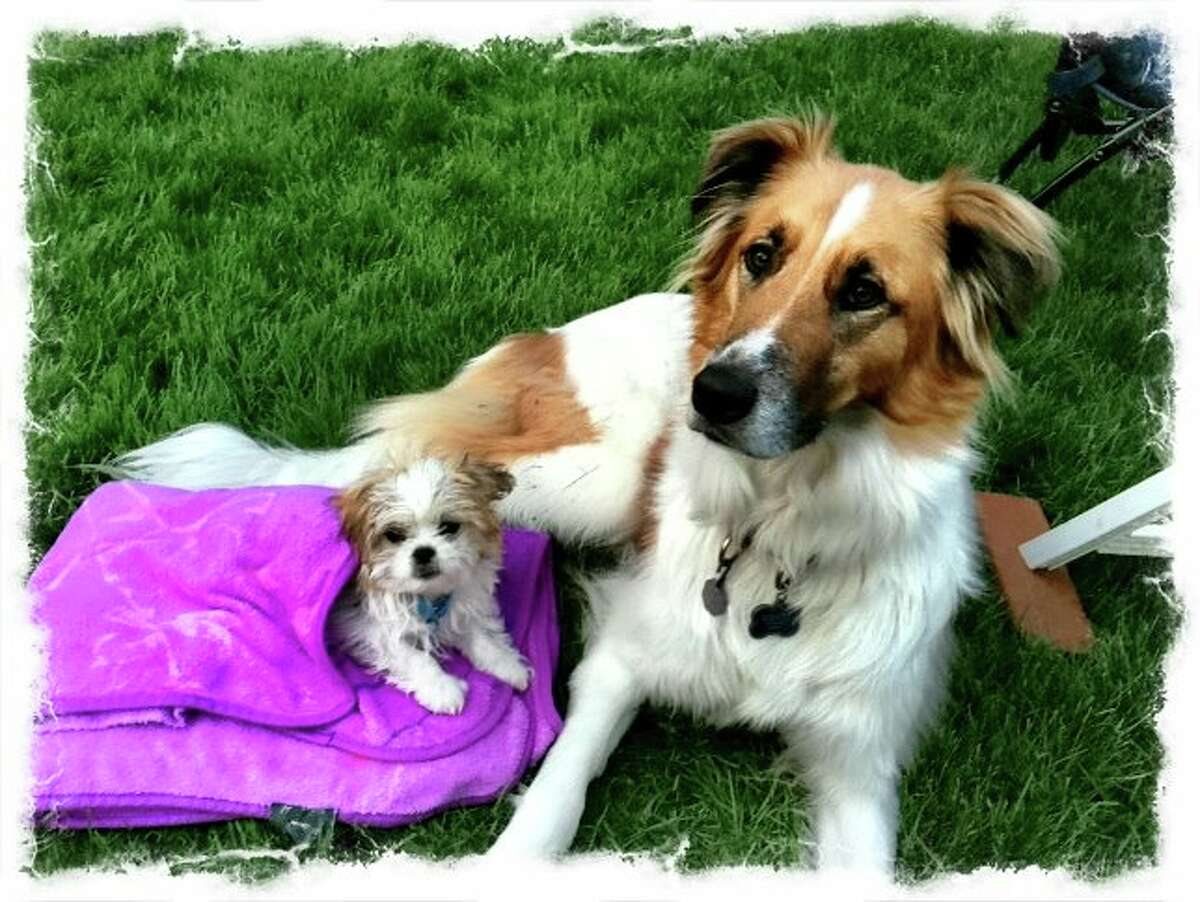 Switchie, a collie mix, is gentle and tolerant of the pekeatese pup, Teddy, who is full of energy and wants to spend every minute playing, says May Lou Pohl of Colonie. This photo was taken after just such a play session when they were both willing to rest for five minutes. (Mary Lou Pohl)