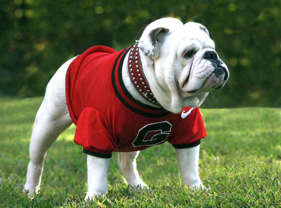 In this undated photo released by the University of Georgia on Wednesday, Oct. 13, 2010, Georgia mascot Uga VIII is shown in Athens, Ga.  >> Click through the following gallery to see 20 of the best traditions in college sports. Photo: Danny White / AP2010