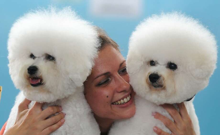 How do you like my new earrings?Totally Bichon. (FCI International dog show in Minsk.) Photo: Viktor Drachev, AFP/Getty Images