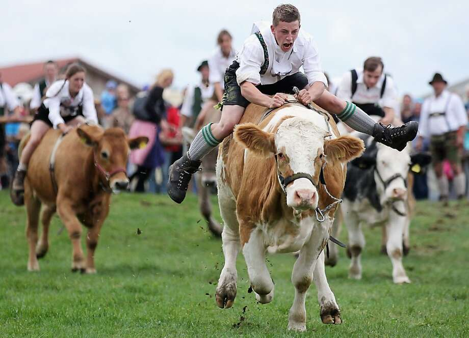 Rootin' Teuton! Martin Breiter leads the field in the  Muensinger Ochsenrennen, a race of jockeys in lederhosen riding oxen bareback in Muensing, Germany. Photo: Johannes Simon, Getty Images