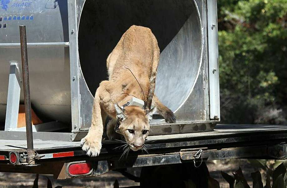 This photo provided by Caribou Nine Productions via the Nevada Department of Wildlife shows a mountain lion released back into the wild Saturday, Aug. 25, 2012, around Lake Tahoe, a day after the animal tried to enter a Reno Nev. casino.  Guests reported seeing the 100-pound cat trying to walk into the casino around dawn Friday morning. When the animal couldn't negotiate the revolving door, it hid under an outdoor stage in a nearby plaza. (AP Photo/Caribou Nine Productions via the Nevada Department of Wildlife) Photo: Uncredited, Associated Press