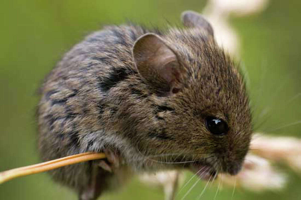 A meadow vole is shown here.