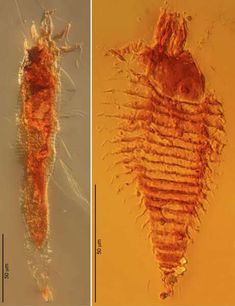 Two new species of ancient gall mites -- Triasacarus fedelei (left) and Ampezzoa triassica -- encased in 230-million-year-old amber droplets were discovered in northeastern Italy. Photo: A. Schmdt, Associated Press / Proceedings of the National Acad