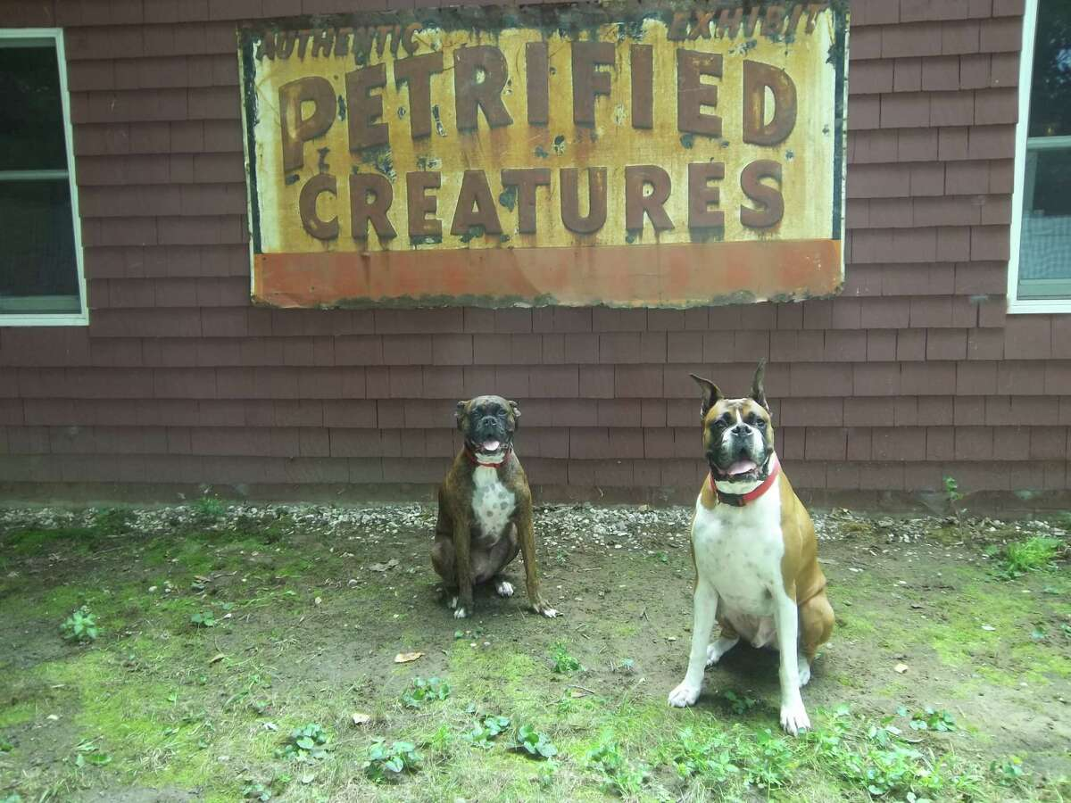 Layla and Cisco (also known as Naughty and Nice) are Judi Bulmer?s two boxers sitting in their backyard in Menands earlier this month. Don?t let the sign fool you, they?re not ?pet?-rified creatures, says Bulmer. The family hung the old sign from the museum near Cooperstown (purchased by her sister) on their garage. Layla and Cisco were just hanging out so they were made to sit for a photo op. (Judi Bulmer)