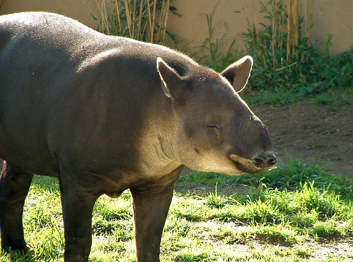 In this undated file photo provided by the San Francisco Zoo, Goober, the zoo's 18-year-old Baird's Tapir is seen in San Francisco. Animal keepers discovered the tapir had died early Sunday morning in the comforts of his barn. Having spent the majority of his life at the San Francisco Zoo, Goober was diagnosed with a malignant form of oral cancer two years ago. With limited treatment options for such an aggressive type of cancer, Goober defied the odds by living well beyond the predictions, the cancer spread and he passed away peacefully in his sleep. A full necropsy report is pending. (AP Photo/San Francisco Zoo)