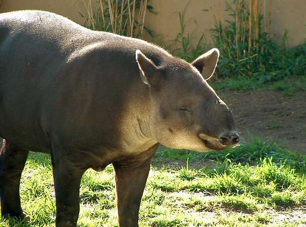 Goober, the San Francisco Zoo's 18-year-old Baird tapir, has died. Photo: Associated Press