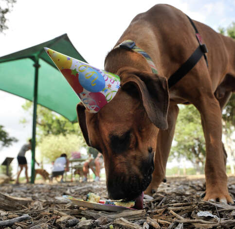 SLUG: Doggy Birthday-AssignID 444398-August 26, 2012-San Antonio, Texas--- Photo: Robin Jerstad, Robin Jerstad/For The Express-Ne / ROBIN JERSTAD     210 254 6552