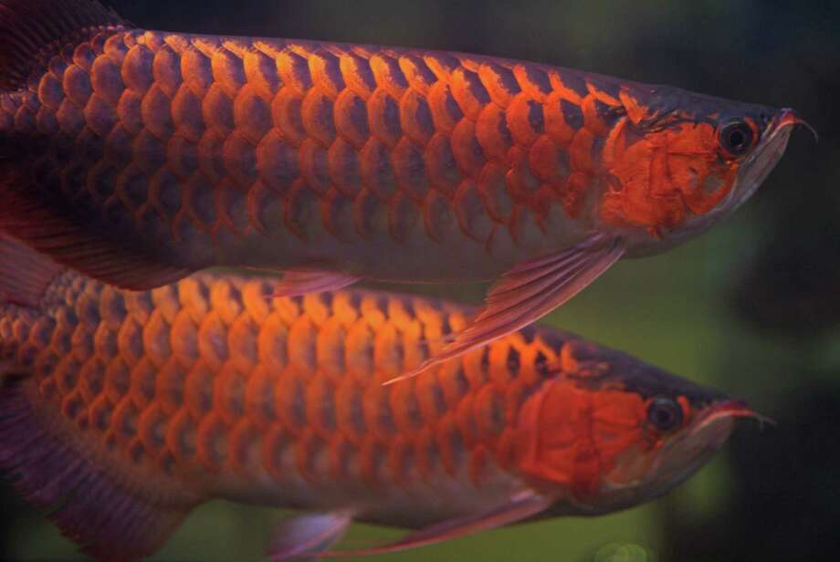 Arowana fish, pictured above during an annual fish festival in Bangkok. Photo: Getty Images