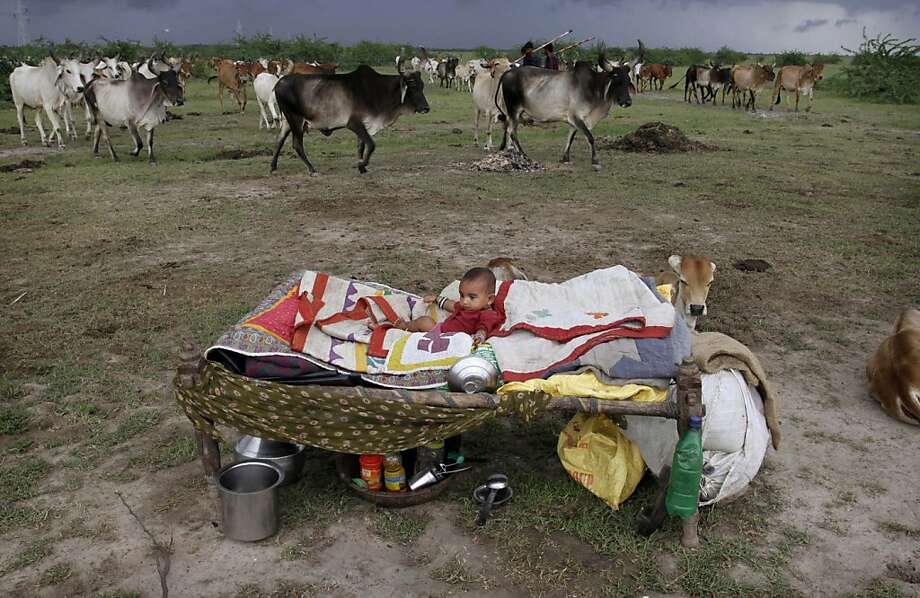A young Indian child rests near a herd of cattle in Bagodara, west of Ahmedabad. Photo: Ajit Solanki, Associated Press