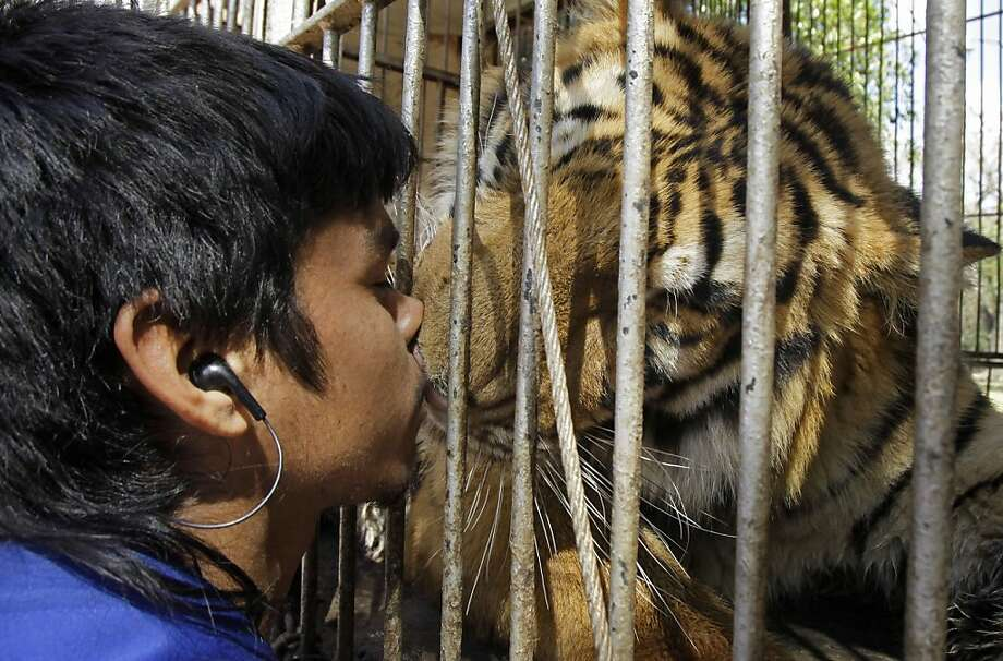 If you must kiss a tiger, do it through the cage bars:Keeper Evelio Garcia busses one of his circus tigers at a zoo in Asuncion. Paraguay took custody of nine Bengal tigers and seven African lions from an Argentine circus after bureaucratic paperwork kept the animals stuck in a Paraguayan border town for two months. Photo: Jorge Saenz, Associated Press