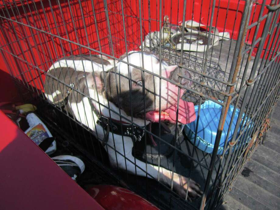 The pit bull was left outside of Parkdale Mall Tuesday afternoon, while the owner was shopping. Photo: Beaumont Animal Services
