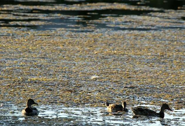 Ducks feed surrounded by algae at Aquatic Park in Berkeley Tuesday August 28, 2012 in Berkeley California. Photo: Lance Iversen, The Chronicle