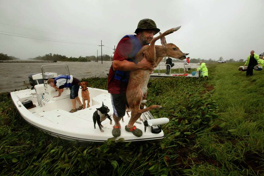 A fawn, being watched by some curious dogs, was among the animals rescued Wednesday in Plaquemines Parish, La., in the aftermath of Hurricane Isaac. Photo: Carolyn Cole / Los Angeles Times