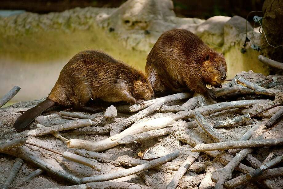 The agency killed 1,621 beavers during the 2013 budget year. Photo: Allison Shelley, Getty Images