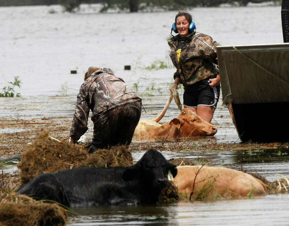 People rescue cows from floodwaters after Isaac passed through the region, in Plaquemines Parish, La., Thursday, Aug. 30, 2012.   Isaac staggered toward central Louisiana early Thursday, its weakening winds still potent enough to drive storm surge into portions of the coast and the River Parishes between New Orleans and Baton Rouge. (AP Photo/Gerald Herbert) Photo: Gerald Herbert, Associated Press / AP