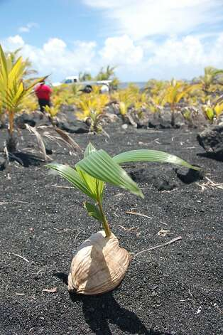 A green shoot signals new life in lava-covered Kalapana and Kaimu. Photo: Jeanne Cooper, Special To The Chronicle