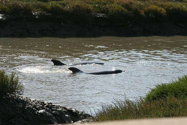 Two bottlenose dolphins swim in Colma Creek in South San Francisco Thursday, Aug. 30, 2012. Photo: Courtesy, Scotty Fox