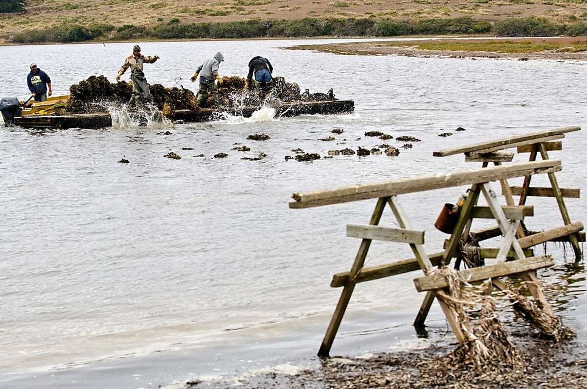 Farm workers toss net bags full of oysters into shallow area where the oyster mature to full size at Drakes Bay Oyster Company in Inverness, California on August 30, 2012.