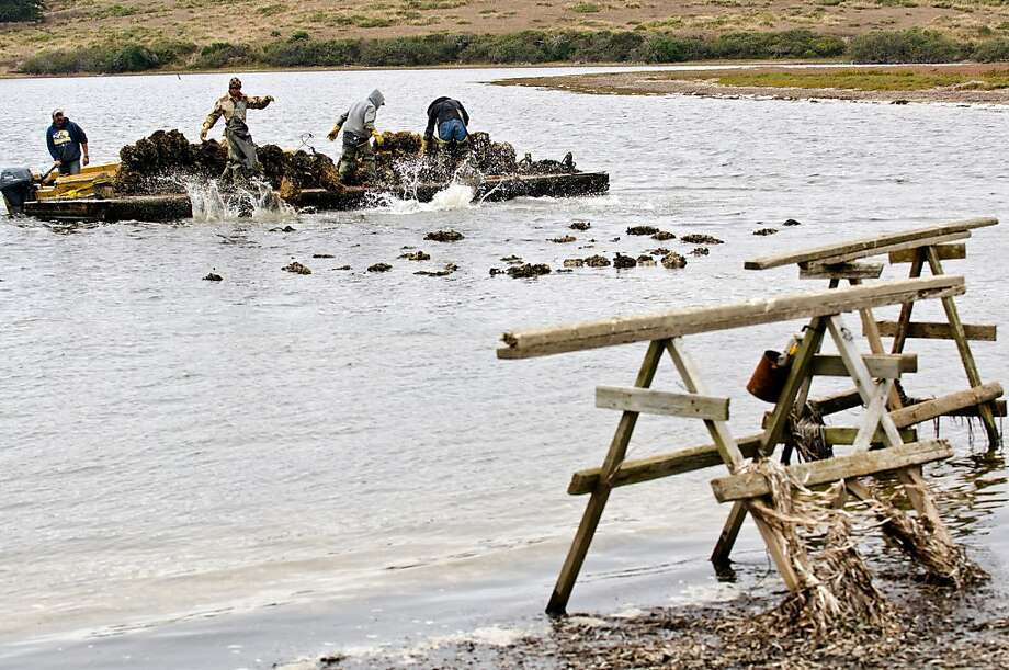 Workers toss nets full of oysters into shallow water at Drakes Bay, where the oysters will mature to full size. Photo: Alvin Jornada, Special To The Chronicle