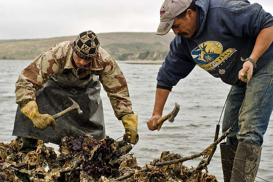 Sean Lunny (left) and Jorge Mata hammer away at oyster clusters to remove them from strands the oysters initially grow on at Drakes Bay Oyster Company in Inverness, California on August 30, 2012. Photo: Alvin Jornada, Special To The Chronicle