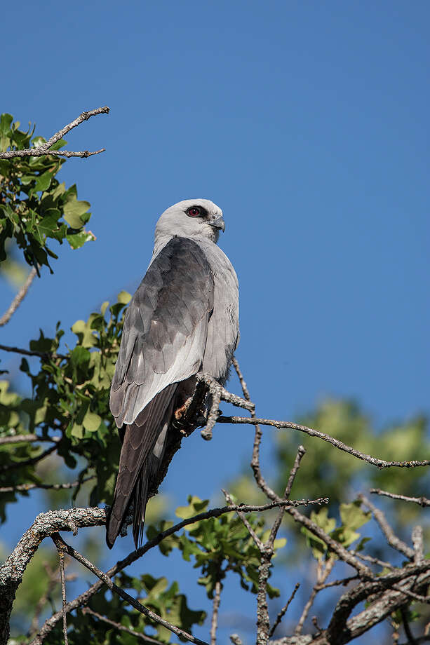 Handsome Mississippi kites are migrating through the area.  Look for their numbers to peak the first week in September. Photo: Debbie Ferrell / Debbie FerrellKAC Productions