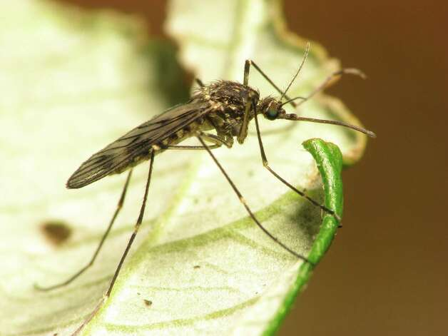 Nationwide, West Nile Virus has been confirmed in 43 states, and there are 693 confirmed cases for this calendar year so far. West Nile Virus-positive mosquitoes have now been found at all Joint Base San Antonio locations. Photo: Courtesy Photo