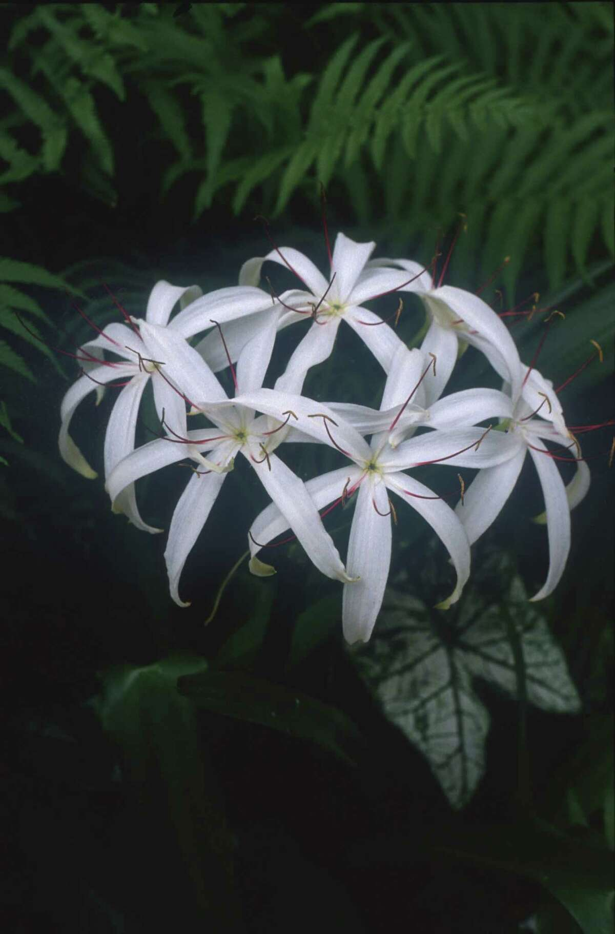 """Swamp Lily. HOUSTON 7/24/99 - LAZY GARDENER HOUCHRON CAPTION (07/24/1999): """"Crinum americana"""", the Texas swamp lilly, will take deeper shade than most crinums. It also does well in water and bog gardens."""