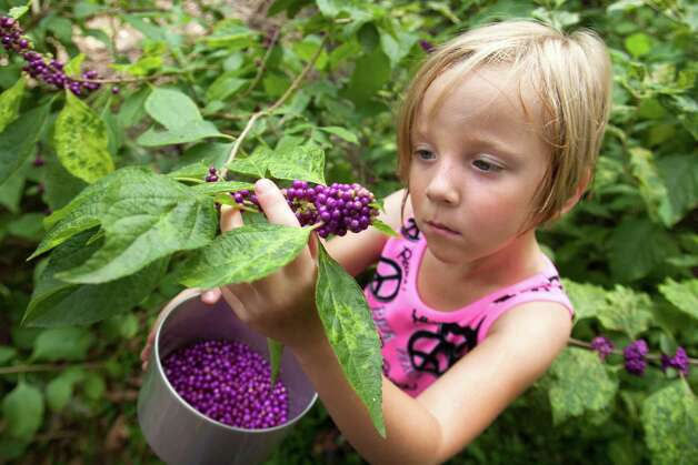Ellie Dyring, 7, Tim Dyring's niece, picks beautyberries on her uncle's land. The Dyrings pick the berries to make jelly and to use the leaves as insect repellent. Photo: J. Patric Schneider / © 2012 Houston Chronicle