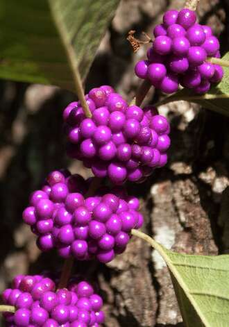 Not only are beautyberries ornamental, wildlife and people enjoy the fruit. Photo: J. Patric Schneider, Photographer / © 2012 Houston Chronicle