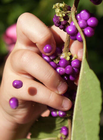 Lizzie Dyring, 7, picks beautyberries to make jelly. Photo: J. Patric Schneider, Photographer / © 2012 Houston Chronicle