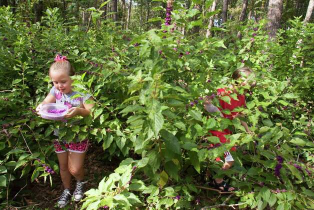 Lizzie Dyring, 7, and her brother Doug, 8, pick beautyberries on their aunt and uncle's property. Photo: J. Patric Schneider, Photographer / © 2012 Houston Chronicle