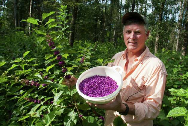 Tim Dyring and his family harvest beautyberries to make jelly. Wildlife also enjoys the moist fruit. Doug Dyring, below right, lends a hand with the harvest. Photo: J. Patric Schneider, Photographer / © 2012 Houston Chronicle