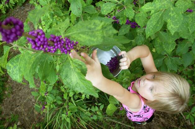 Ellie Dyring, 7, picks beautyberries on her aunt and uncle's property. Photo: J. Patric Schneider, Photographer / © 2012 Houston Chronicle
