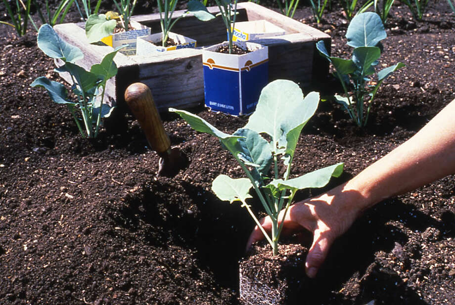 Children can help transplant fall vegetables such as broccoli. Photo: Courtesy National Garden Bureau