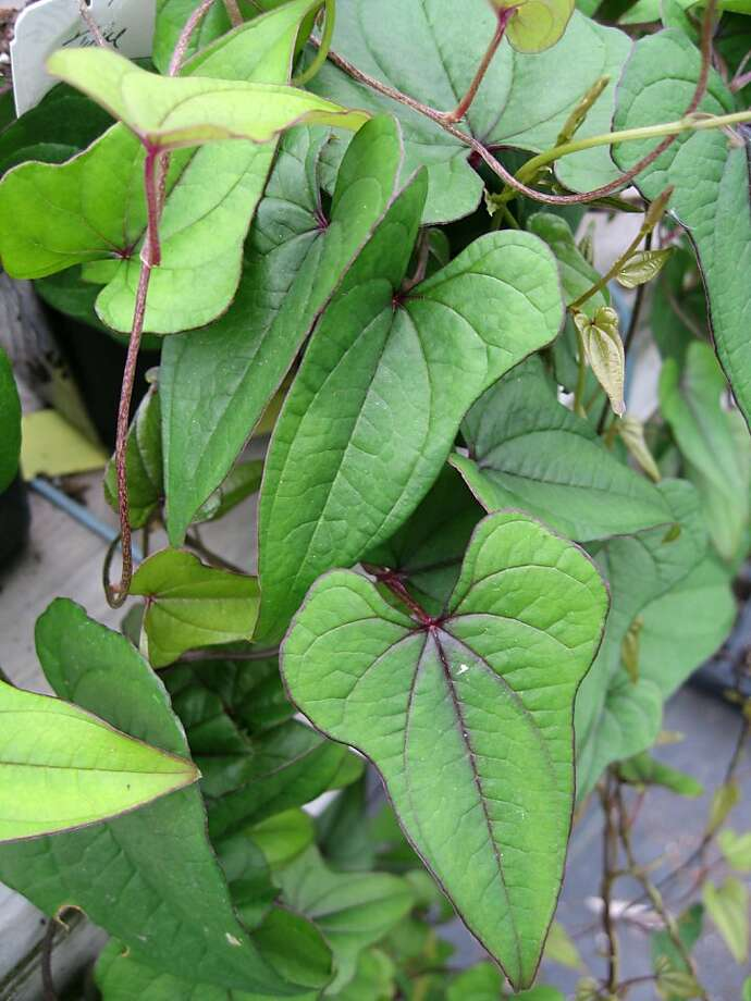 Cinnamon vine is an attractive plant that may or may not produce edible tubers in our climate. Photo: Kelly Kilpatrick
