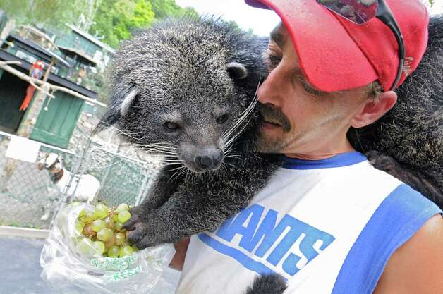 Zoo employee Richard Bain feeds a Binturong grapes who is sitting on his shoulders at the Ashville Game Farm and Exotic Zoo on Tuesday, July 24, 2012 in Greenwich, N.Y. (Lori Van Buren / Times Union) Photo: Lori Van Buren