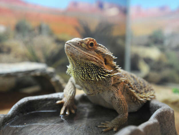 A Bearded Dragon sits in a tank at the Ashville Game Farm and Exotic Zoo on Tuesday, July 24, 2012 in Greenwich, N.Y. (Lori Van Buren / Times Union) Photo: Lori Van Buren