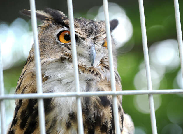 A Eurasian Eagle Owl at the Ashville Game Farm and Exotic Zoo on Tuesday, July 24, 2012 in Greenwich, N.Y. (Lori Van Buren / Times Union) Photo: Lori Van Buren