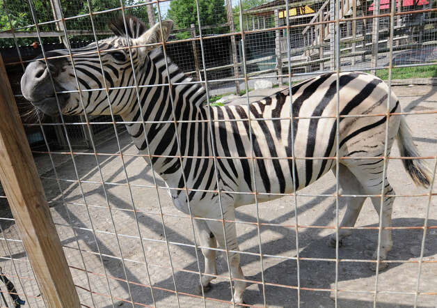 A zebra at Ashville Game Farm and Exotic Zoo on Tuesday, July 24, 2012 in Greenwich, N.Y. (Lori Van Buren / Times Union) Photo: Lori Van Buren