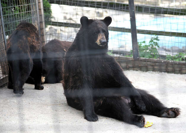 North American Bears at Ashville Game Farm and Exotic Zoo on Tuesday, July 24, 2012 in Greenwich, N.Y. (Lori Van Buren / Times Union) Photo: Lori Van Buren