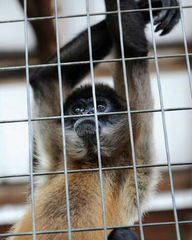 A Black Handed Spider Monkey at Ashville Game Farm and Exotic Zoo on Tuesday, July 24, 2012 in Greenwich, N.Y. (Lori Van Buren / Times Union) Photo: Lori Van Buren