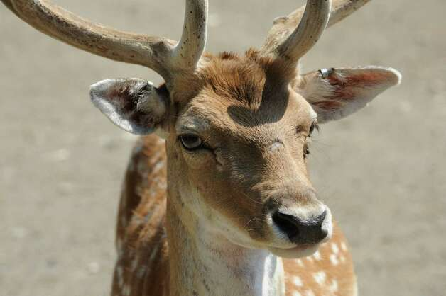 A deer at Ashville Game Farm and Exotic Zoo on Tuesday, July 24, 2012 in Greenwich, N.Y. (Lori Van Buren / Times Union) Photo: Lori Van Buren